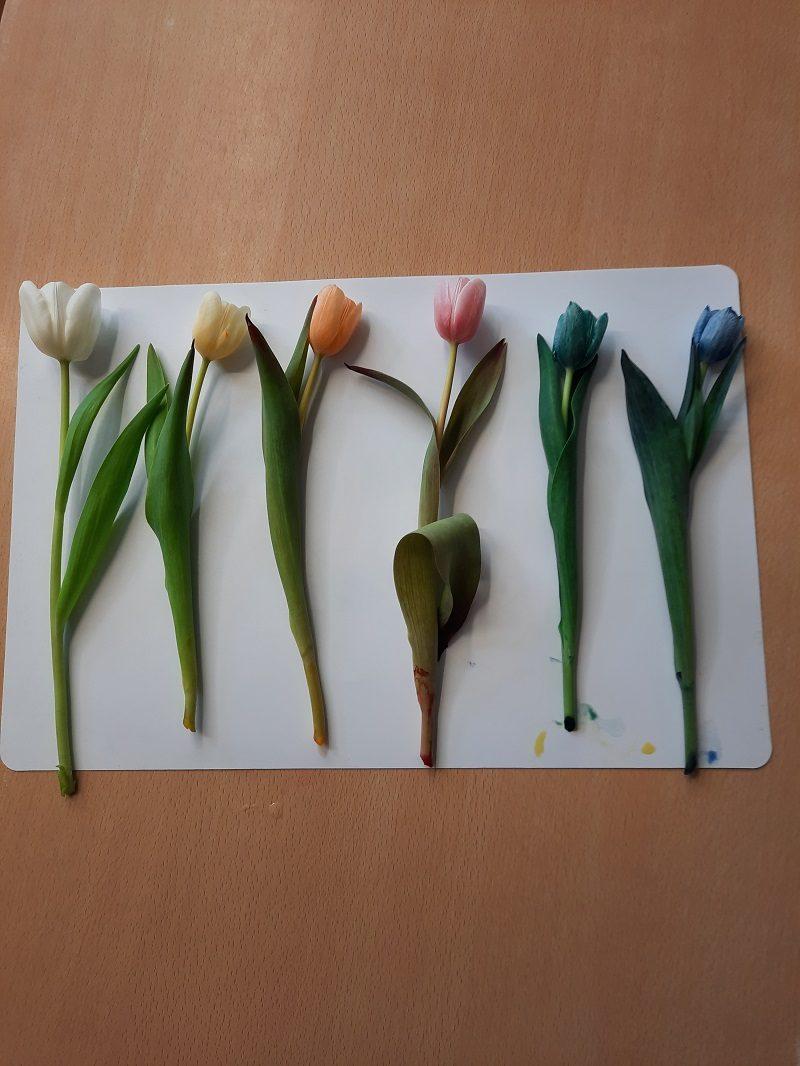 Ein tolles Experiment, nicht nur für Kinder. Wir haben 6 Gläser mit Wasser gefüllt und in jedes Glas unterschiedliche Farben zugegeben. Hierzu eignen sich besonders Lebensmittelfarben, Ostereierfarben oder ähnliches.Nun wurde in jedes Glas eineweiße Tulpe gestellt. Es eignen sich dafür auch andere weiße Blumen. Gespannt konnte jetzt beobachtet werden, wie die Tulpen trinken. Ganz langsam […]